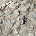 Calcaire à cératites