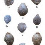 <b>Malm 04 (Brachiopodes)</b> <br />